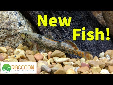 New FIsh For The Native Stream Tank | Rainbow Darter | Greensided Darter