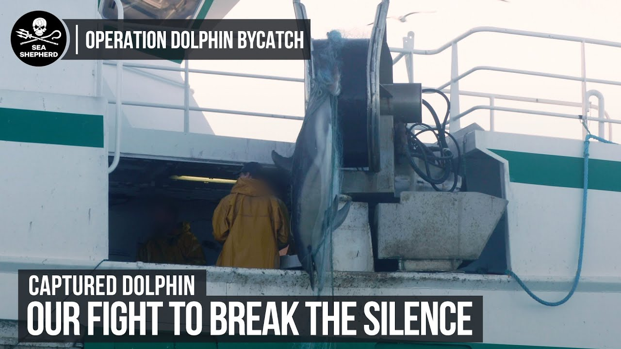 Dolphin caught in French Gillnet   Operation Dolphin Bycatch