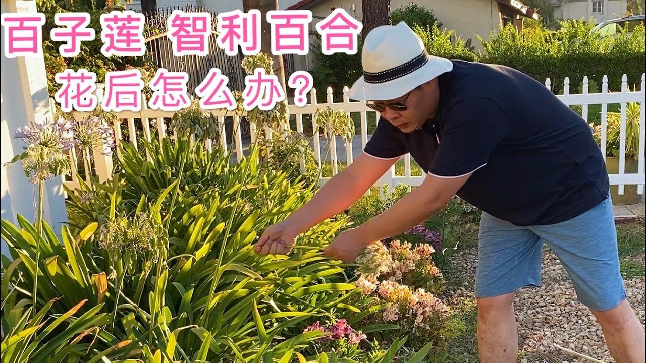 (园艺篇103)一棵草莓摘一碗。百子莲花后修剪。智利百合花后修剪。