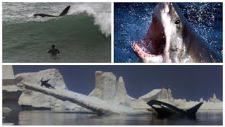Tubarão Branco e Orca Assassina: Ataques no Mar - Monstros Marinhos
