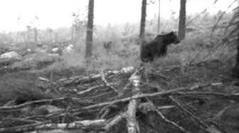 Karhun selkä kutiaa