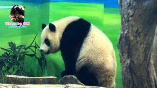 20150801圓仔下班前跟團團打招呼 The Giant Panda Yuan Zai and Tuan Tuan