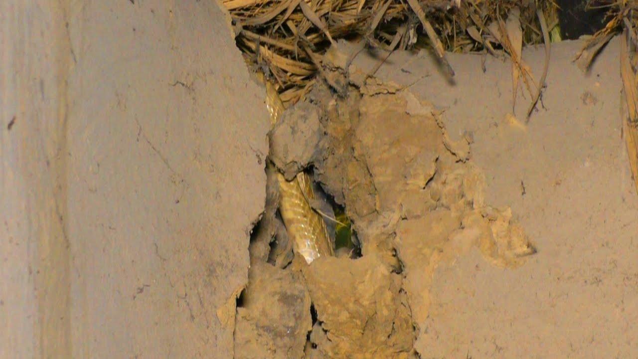 जहरीला नाग घर में, देखिए कितनी मुश्किल से निकला गया।Venomous Cobra rescued from house.