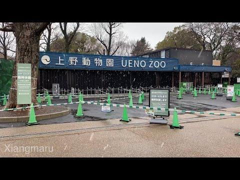 上野公園でさくらと雪の共演!