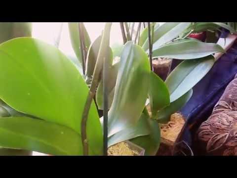 Про условия роста орхидей. -