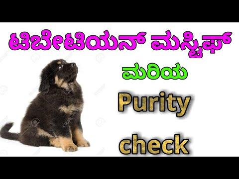 How to check purity of Tibetan mastiff in kannada
