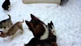 Baby Siberian Huskies First Snow Experience