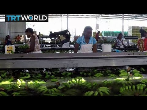 Angola Banana Farming: Angola Diversifying Economy Through Agriculture