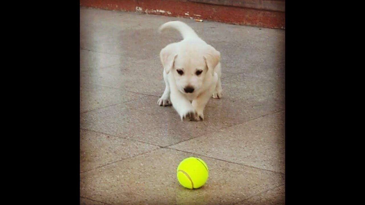 Labrador retriever puppies 4 sale 2014 - YouTube for Lab Dog Puppy Price  11lplpg