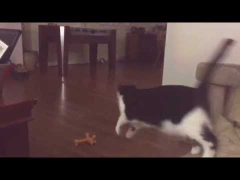 Cat plays fetch