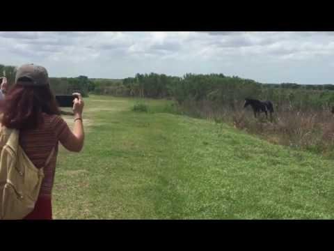 Mengerikan!!! Seekor Kuda Liar Menyerang Buaya