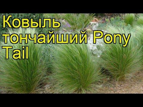Ковыль тончайший (Pony Tail). Краткий обзор, описание характеристик, где купить саженцы