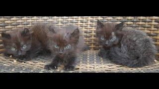 Three beautiful black kitten on rattan chair .