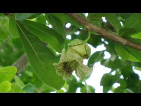 น้ำเต้าต้น (Nam Tao Ton) - Calabash Tree