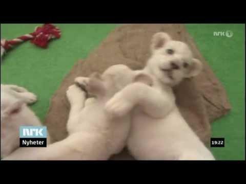 Fem Hvite Løveunger / Five White Lion Cubs (Himeji, Japan, July 2013)