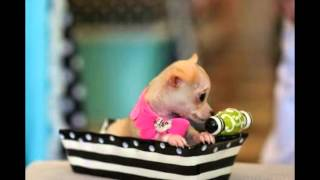 Record Small Chihuahua Puppies For Sale 954-353-7864 2014