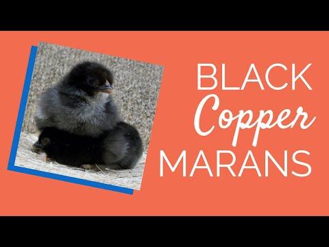 black-copper-marans-chicken- -chickens-for-backyards