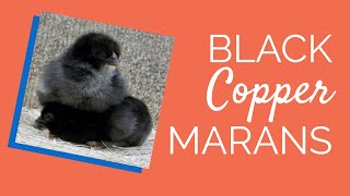 Black Copper Marans Chicken