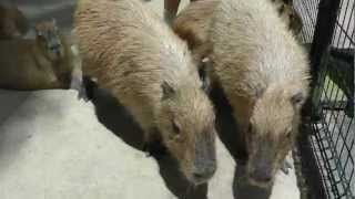 The Most Adorable Animal, Capybaras Talk, Nagasaki Bio Park 愛らしいカピバラがトーク