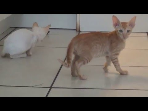 Siamese and Oriental Shorthair Kittens Roxy Evita playing 2016