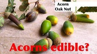 How to eat Acorn, or Oak Nut | Acorns are edible? | Sheru & Bruno eating Acorns