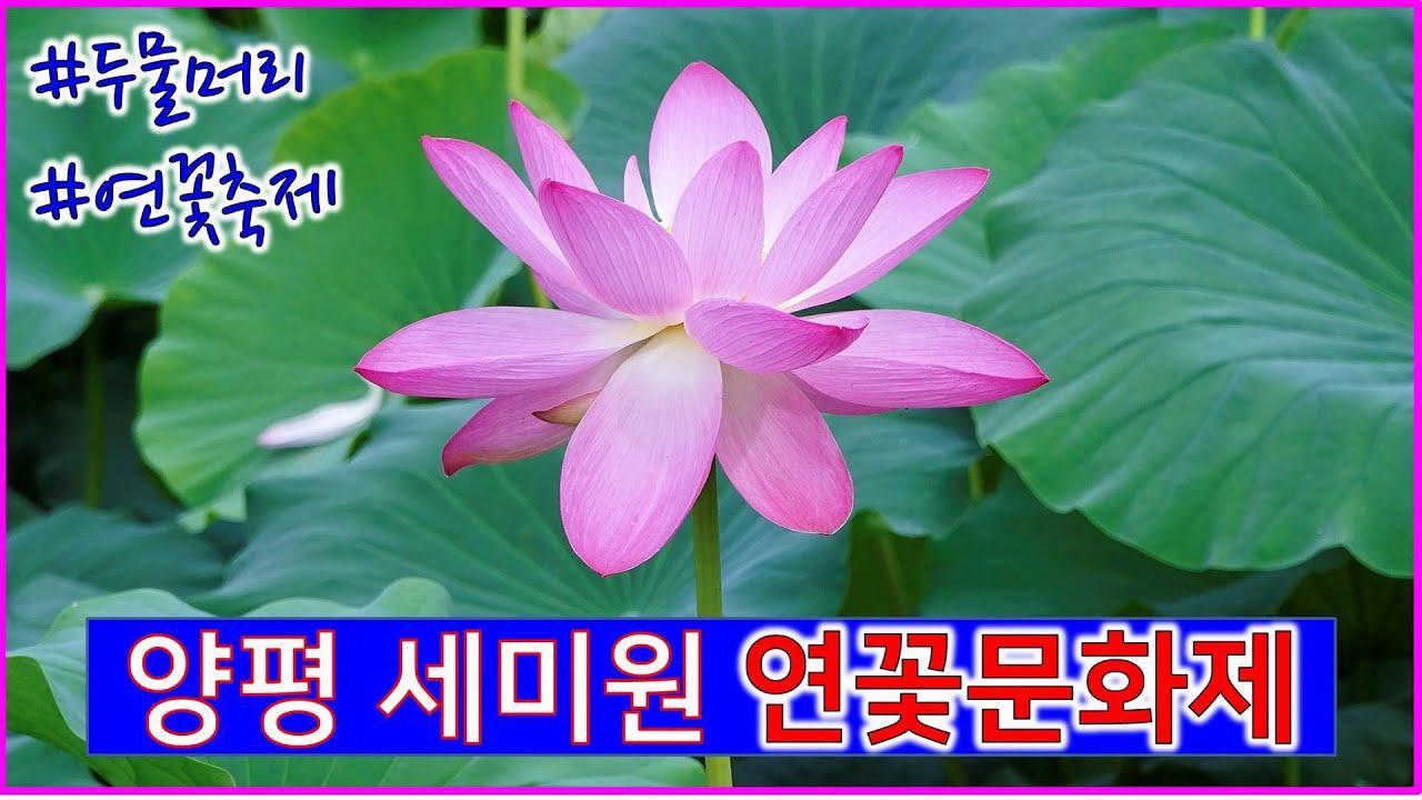 [어디갈까28] 2020 양평 세미원 연꽃문화제 : 두물머리 연꽃축제
