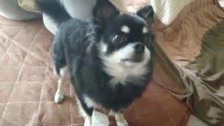 ウチの愛犬チワワのトトさんの日常です。 なんて言うんですかね?針?あ...