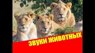 Голоса и звуки животных России для детей