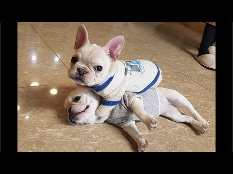 Funny and Cute French Bulldog Puppies Compilation #6 - Cutest French Bulldog