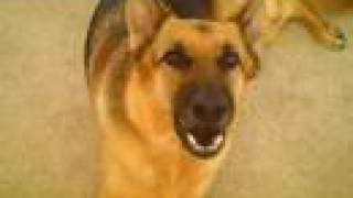 German Shepherd Talks (in Loving Memory 9/19/03 - 9/23/08)