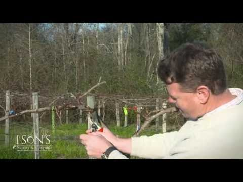 Ison's Nursery Pruning Mature Muscadine Vines Instructional