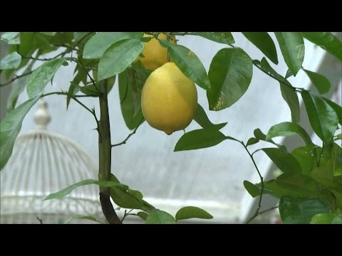 Как вырастить плодоносящий лимон. Фазенда. Фрагмент выпуска от 20.12.2015