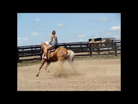 GOLDEN PALOMINO AQHA REGISTERED 10 YEAR OLD GELDING, FINISHED RANCH HORSE, VERY VERY WELL BROKE