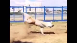 Собачий бой  Матрица рядом не стоит