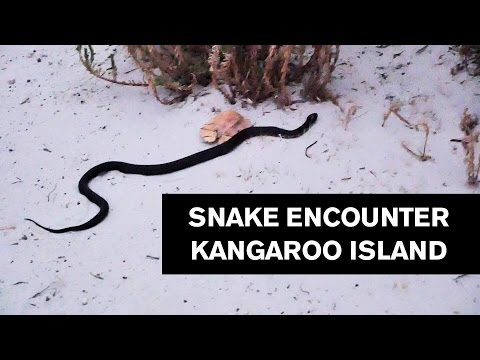 Snake Encounter Kangaroo Island