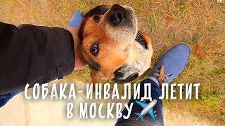 Собака-инвалид нашла семью в Москве! Реабилитация впереди.