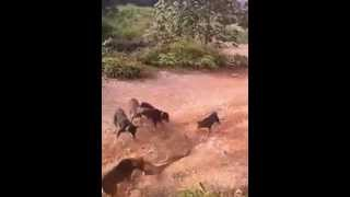 King Cobra Vs Dogs (Fight video)