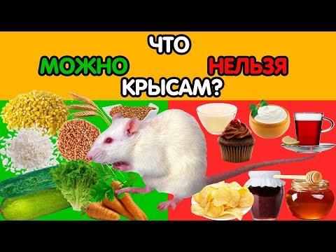 Что можно и что нельзя давать декоративным крысам?