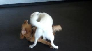 White Siberian Husky Maxx & Golden Retiever Nature Playing