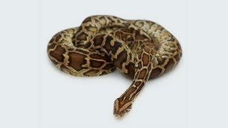 What Big Snakes Make Good Pets? | Pet Snakes