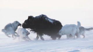 Арктические мелвильские волки – призраки ледяной пустыни. Главные хищники и эксперты по выживанию