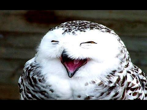 Смешная сова Видео! - -Видео сёрфинг