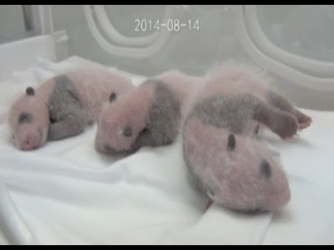 Giant Panda Triplets Fairly Adjusted to Weaning Process in South China