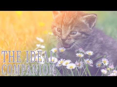 The Ideal Companion | Cat Videos | Cat Breeds