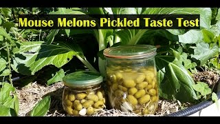 Mouse Melon Pickles Fermented & in Vinegar Taste Test