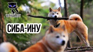 Сиба-ину / Интересные факты о собаках