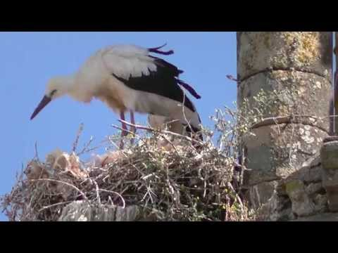 SPAIN  nestling storks at Trujillo, Extremadura (hd-video)