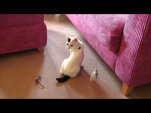 Japanese Bobtail kitten (Shigure) playing with a cat teaser