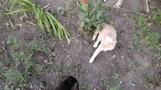 Арчи и кот Кузя - первое знакомство (щенок немецкой овчарки 1 месяц и 9 дней)