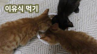 이유식먹는고양이,드디어 삼둥이 모두 이유식을 먹기 시작했어요